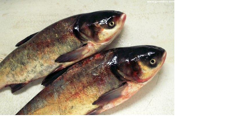 живая рыба толстолобик купить
