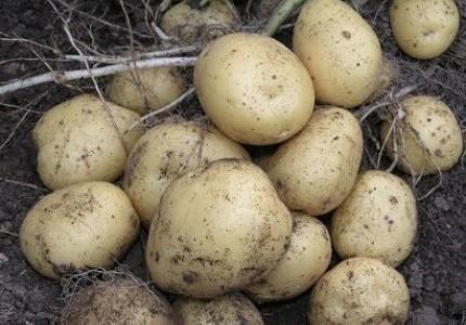 Купить Семена картофеля РІВ'ЄРА (ІІ репр.) купить в Украине, Семенной картофель Ривьера 2-ой репродукции