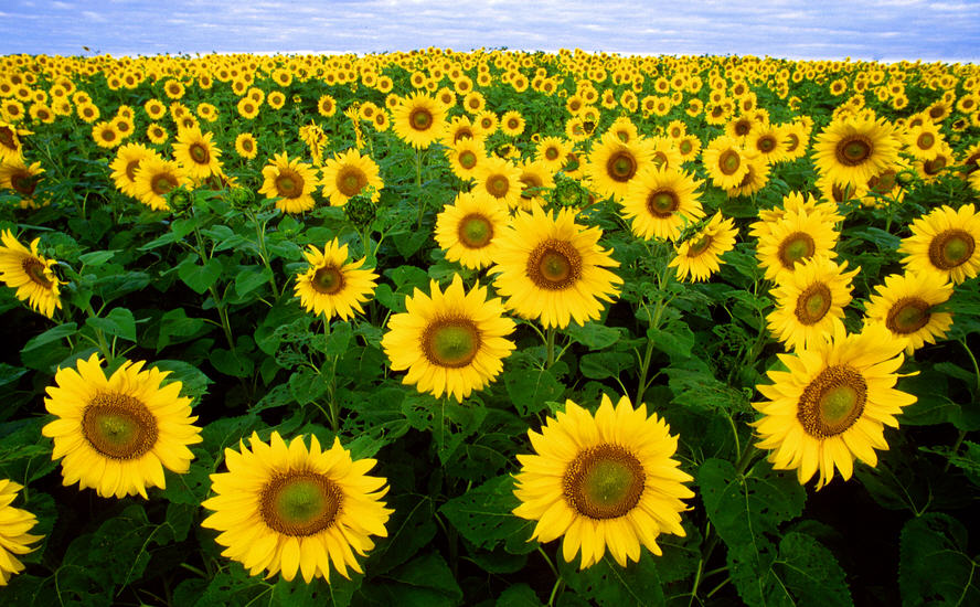 Buy Agricultural production sunflower