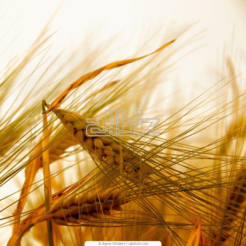 Пшеница яровая, купить