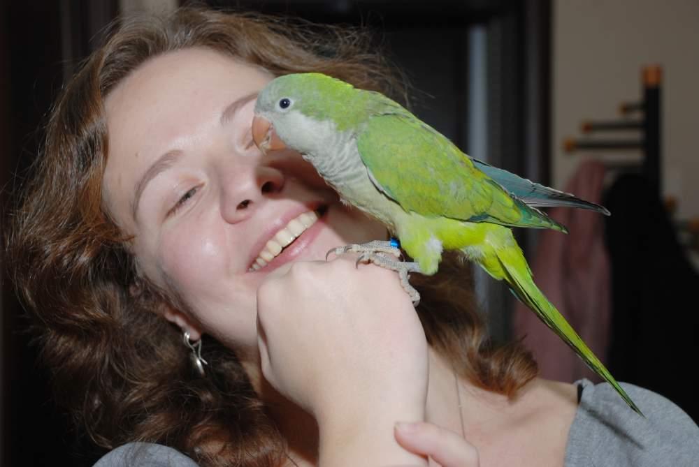 Купить Ручной попугай для разговора квакер монах- птенцы
