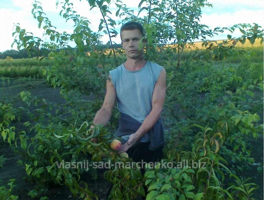 Персик  сорт Ред Хейвен