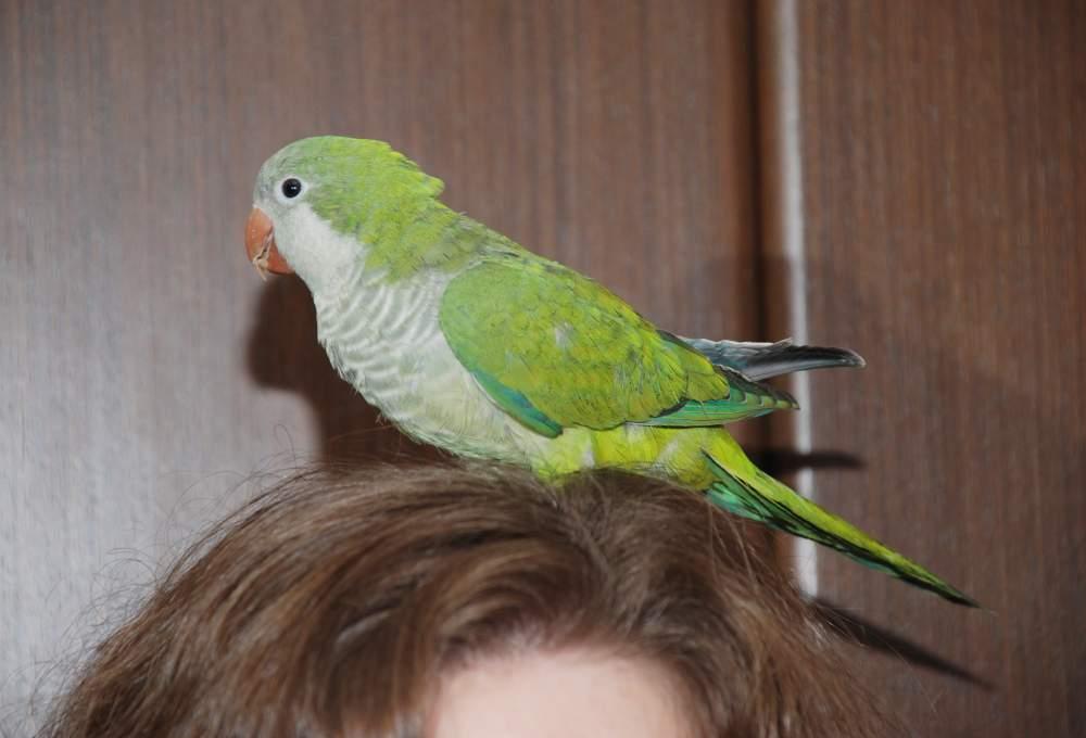 Купить Ручной попугай Зеленый монах