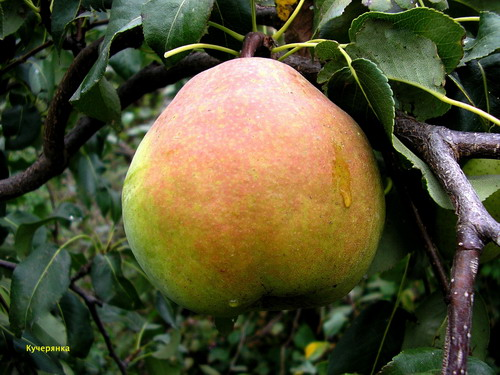 How to choose the right winter variety of pears
