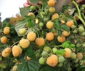 Купить Саженцы малины желтой, сорт Утренняя роса
