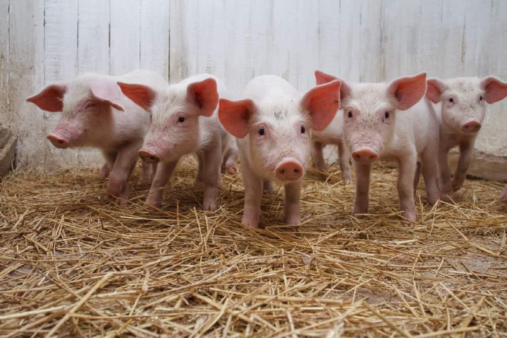 Кормовые добавки ТОРФОВИТ для свиней, добавки для свиней
