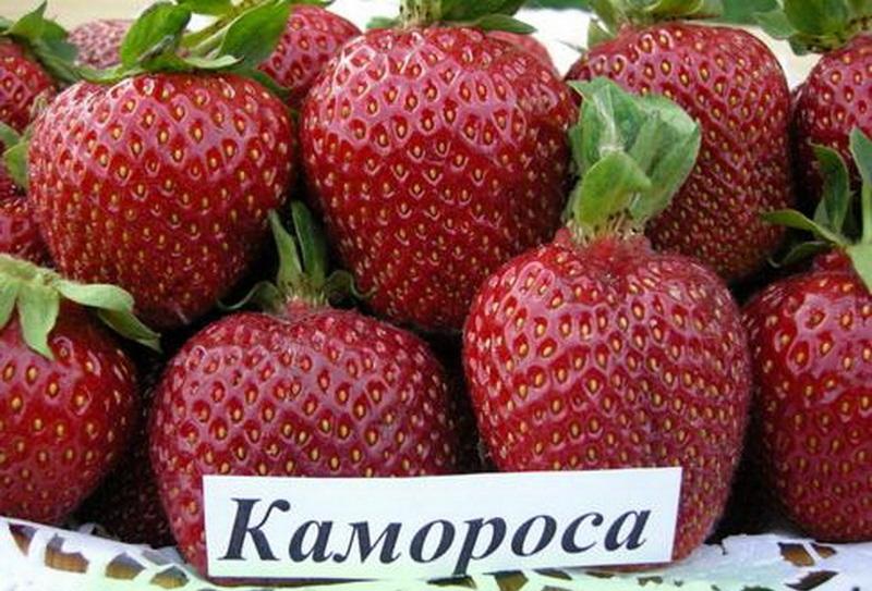 клубника камароза описание сорта фото отзывы