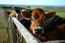 Купить Минерально - витаминные премиксы, кормовые добавки для крупного рогатого скота