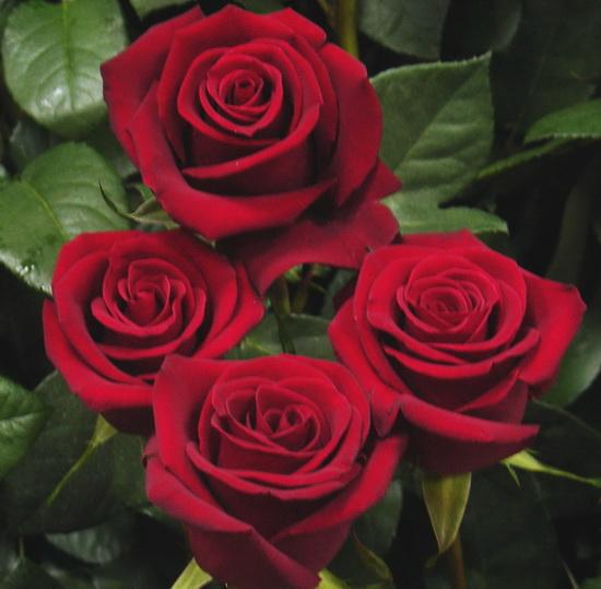 Розы красные картинки
