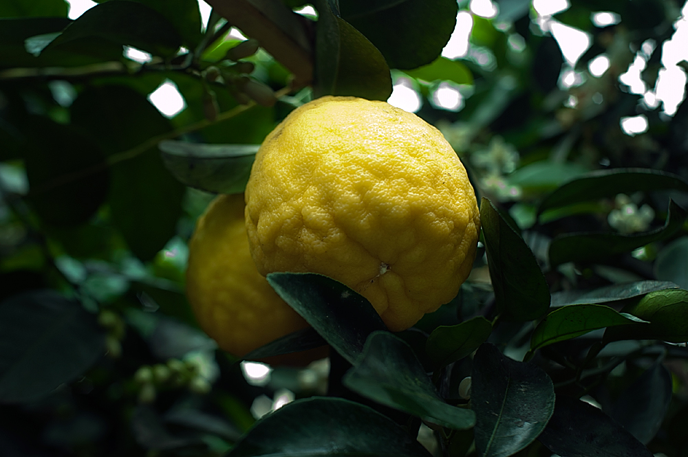 Саженцы лимона, скидки!!!