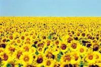 Купить Семена подсолнечника Драган Сербия