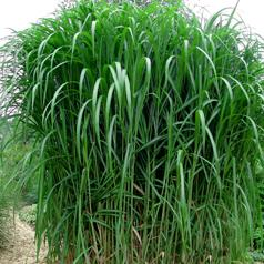 Buy Miskantus (seeds, rhizomes)