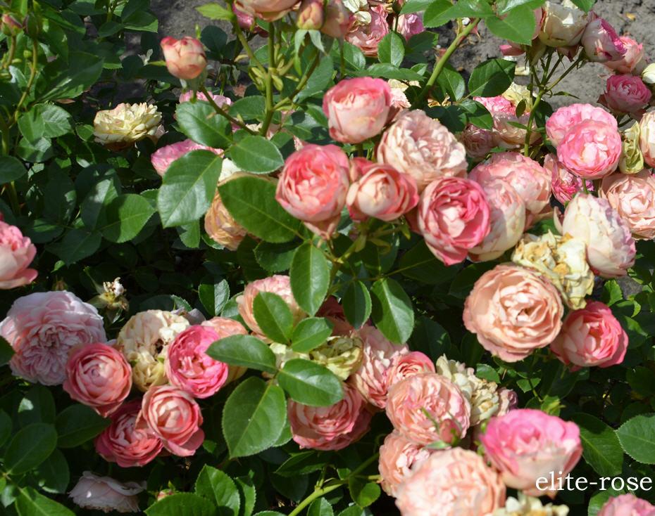 Розы, сорт Акрополис