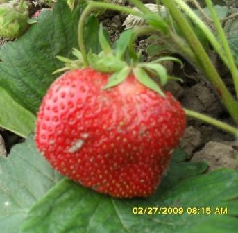 Земляника Елизавета 2: описание сорта, выращивание и уход | 336x343