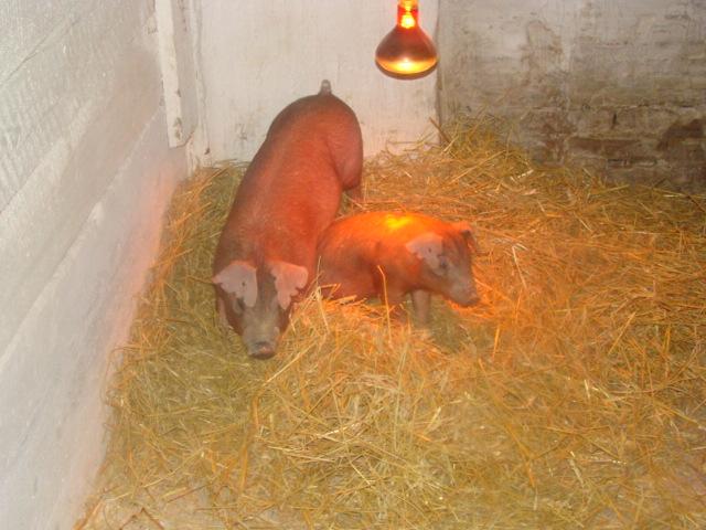 Купить Племенные животные Свиньи породы ёркшир, ландрас, петрен