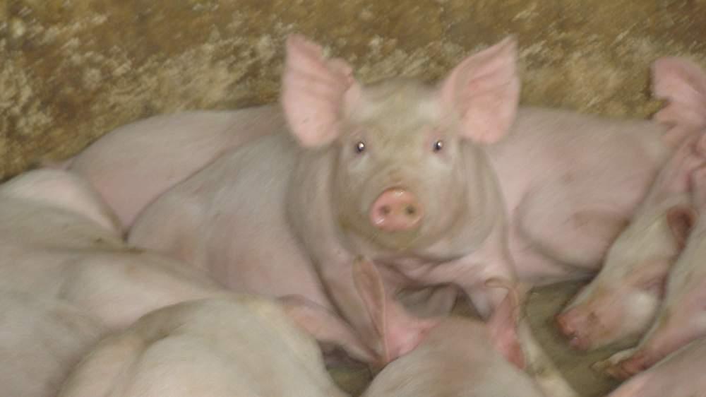Купить Мясомолочные животные, свиньи