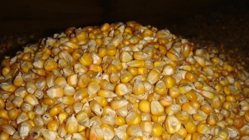 Купить Кукуруза зерно Кукуруза семейства Злаки