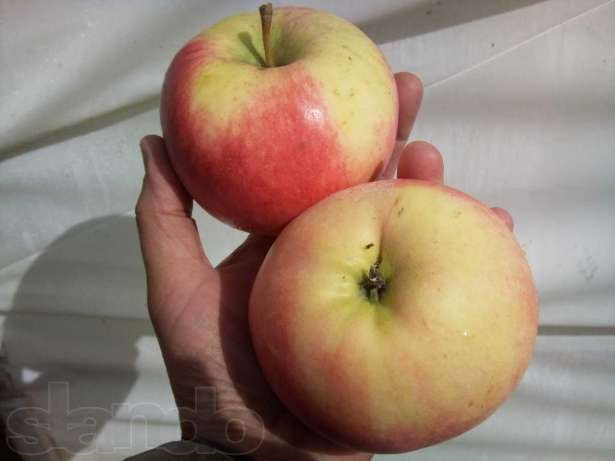 Купить Яблоко лиголь