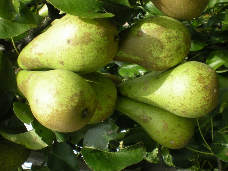 Buy Pear saplings on a quince and seedlings of a pear