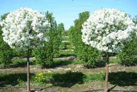 Buy Apple-tree decorative