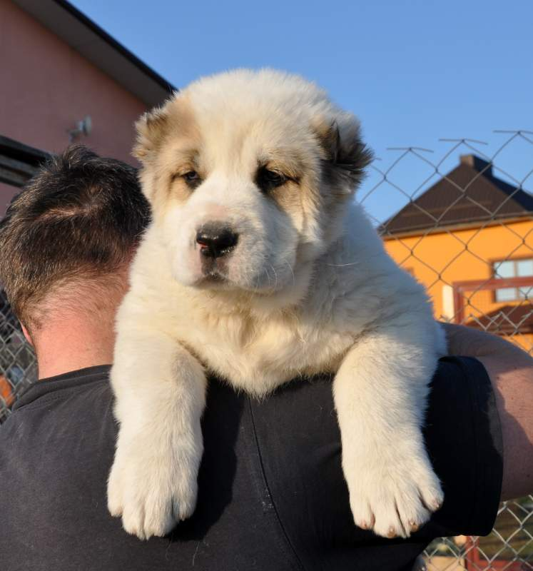 Puppy Alaby Sao Central Asian Shepherd Puppy Buy In Rovno