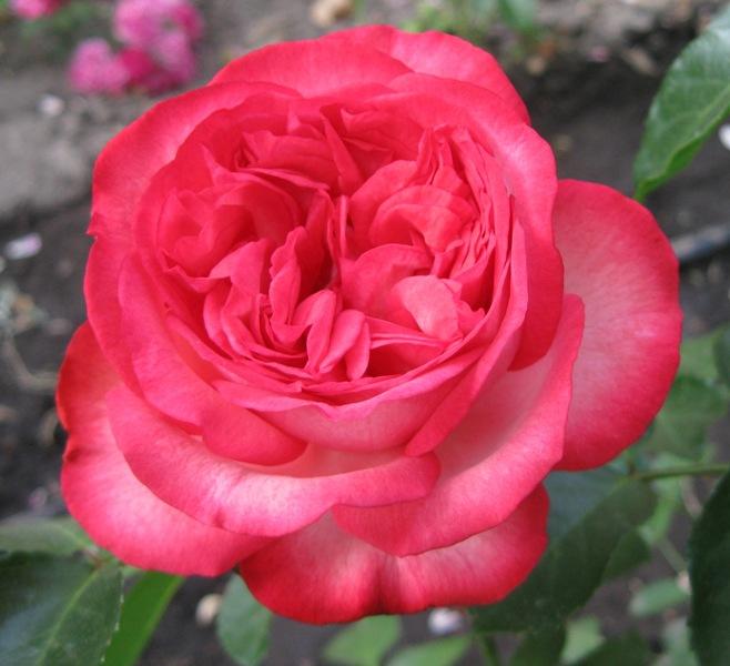 Купить Розы наложенным платежем.