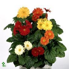 Купить Цветы комнатные.