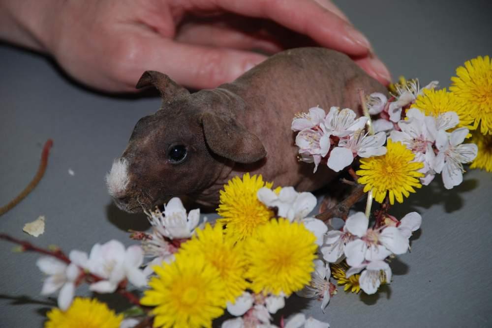 Купить Продаются очаровательные морские свинки Скинни - это одно из лучших домашних животных для детей