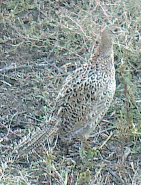 Купить Молодняк фазана месячный