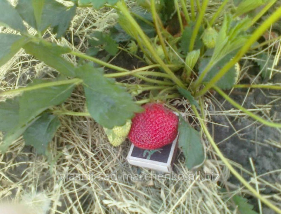Olviya's strawberry.