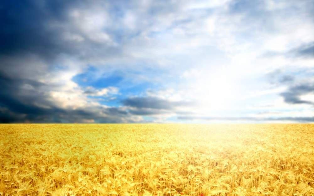 Пшеница продовольственная 2 кл.