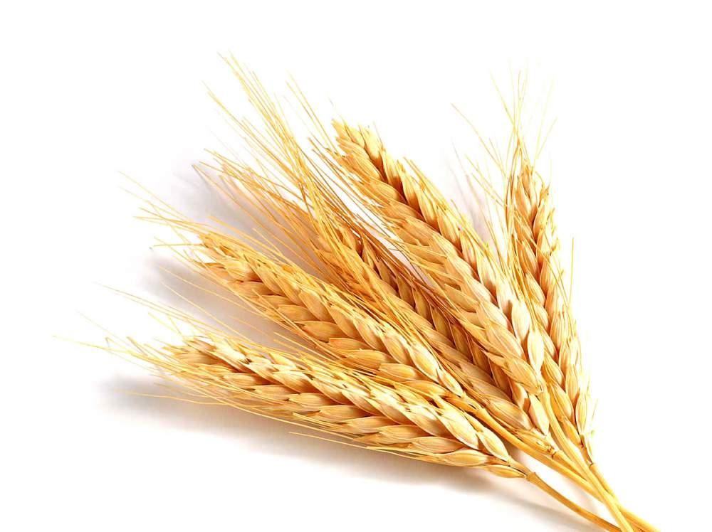 Пшеница картинки для детей