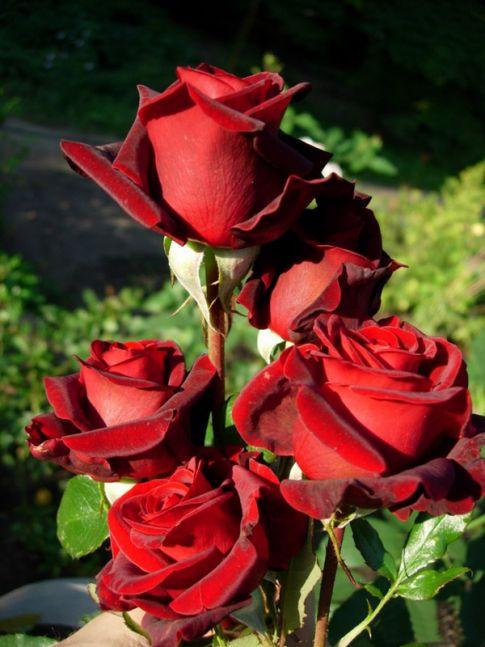 """Купить Кусты роз (акулянты) в любом количестве под заказ Роза чайно-гибридная """"Блэк Меджик"""""""