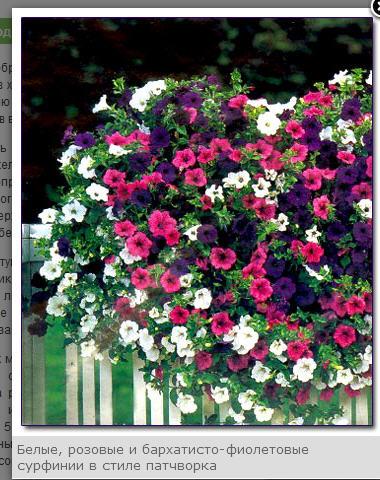 Купить Саженцы балконных вьющихся цветов: ампельной петунии, сальвии, виолы и т.д.