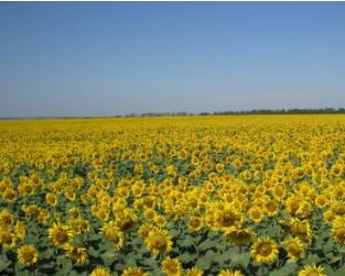 Купить Сельхозпродукция: зерновые, овощи, масличные и технические растения
