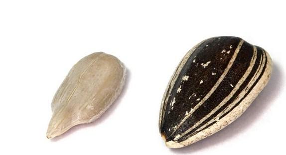 Купить Куплю семечку подсолнечника товарная сорт Рейна К (Конфетка)-кондитерская крупная полосатая