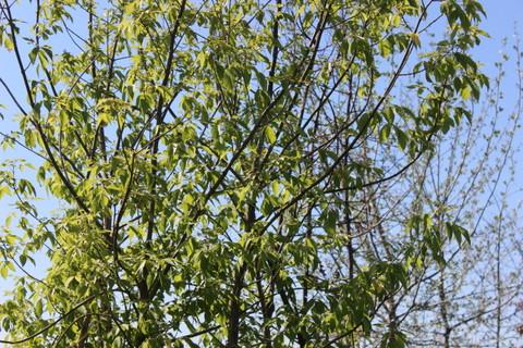 Купить Клен ясенелистий (Acer negundo C100)