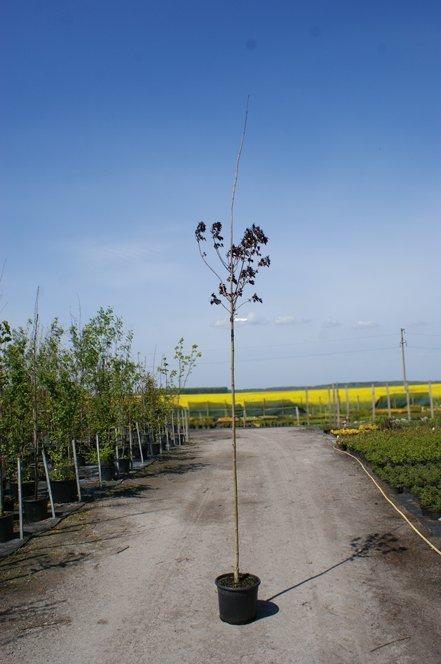 Купить Клен дланевидный (Acer palmatum 'Atropurpureum')
