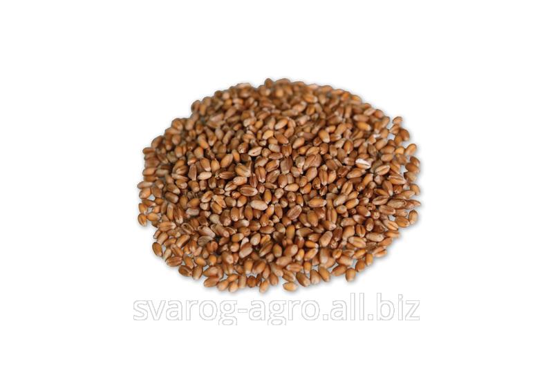 Пшеница продовольственная от производителя