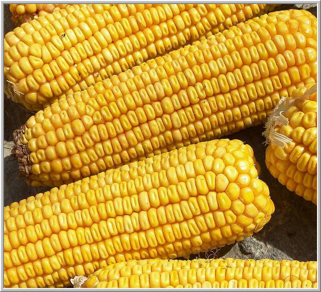 Купить Семена кукурузы Аробаз