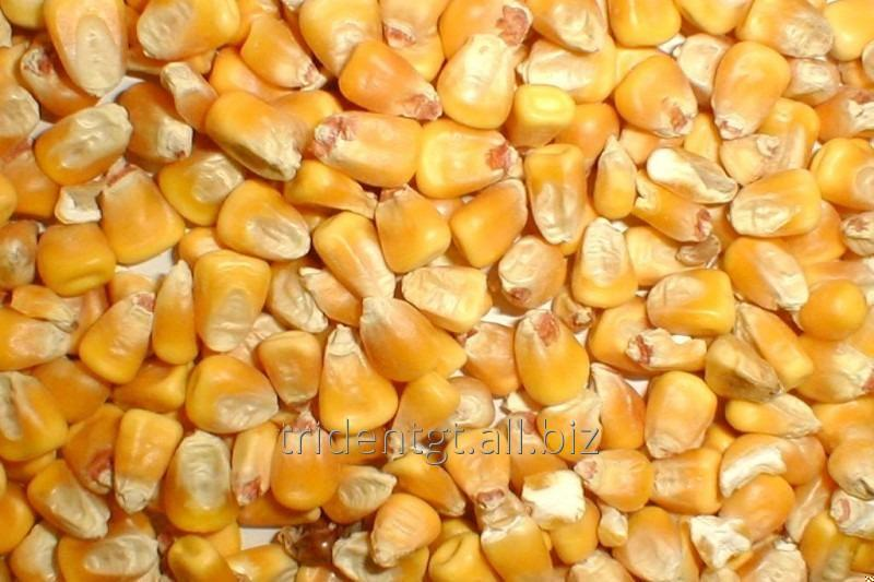 Corn for export
