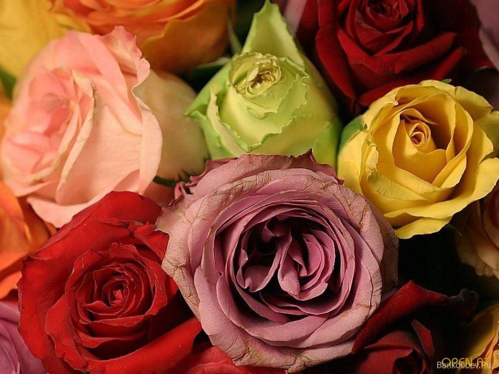 Купить Саженцы роз (Чайно-гибридные)