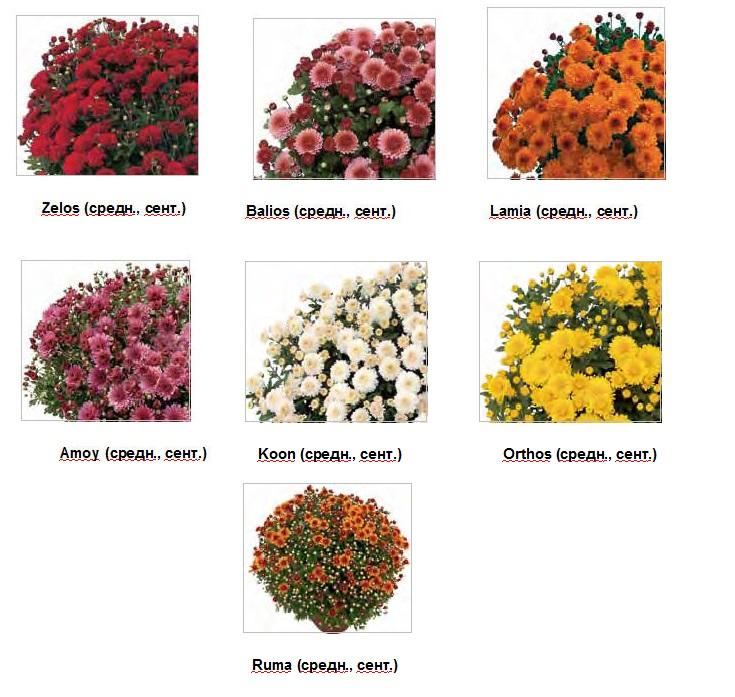 Купить Хризантема Multiflora