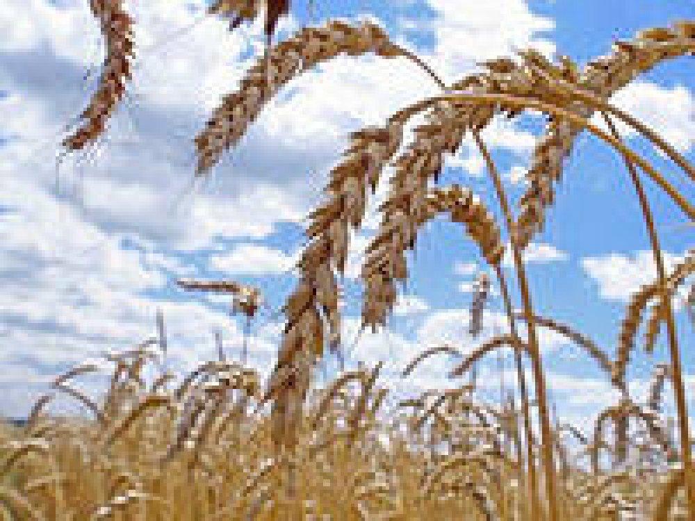 Купить Семена озимой пшеници — Литанивка