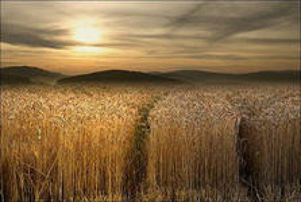 Купить Озимая пшеница Заграва Одесская