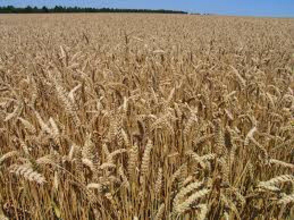 Купить Пшениця озима Краснодарська 99