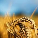 Купить Пшениця озима КАЛЬЧУГА