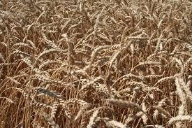 Купить Пшеница озимая Царевна