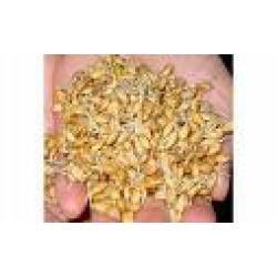Купить Пшеница Белоцерковськая Полукарликовая