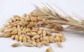 Купить Озимая пшеница Волошковая
